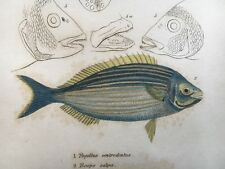 PAGELLUS ORIGINAL HAND COLORED 1834 CUVIER GRIFFITH FISH COLORFUL SEA LIFE