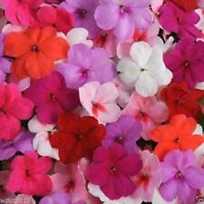 Impatiens-Impreza Pink Spring Mix- ideal for Baskets,Containers & window boxes