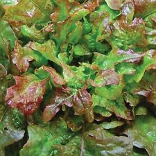 Bronze Beauty Or Bronze Arrowhead Lettuce Seeds,ORGANIC Non GMO-Open-Pollinated