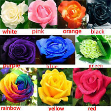 100X Multi-color Flower Plant Seed Holland Rose Seed Lover Gift Garden Decor cn