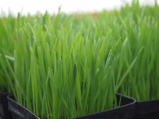 CAT GRASS / Cock's-foot (Dactylis glomerata) Seeds