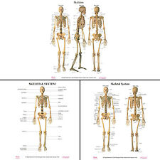 Dbios Digitally Printed Human Skeletal System Poster Wall Charts Wall Décor
