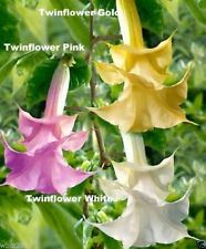 Angel Trumpet Mix - BRUGMANSIA  SEEDS - Pink, Yellow, White, Fragrant flowers