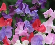 Annual Sweet Pea Seed 'Royal Family Mix''  . Excellent for cut flowers