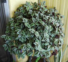 Violet Hill Tradescantia Zebrina Trailing Wandering Jew Houseplant Ground cover