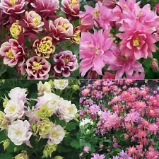 30 pcs Potted Flowers Double Aquilegia seeds