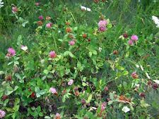 USDA Organic Red Clover seeds for sprouting 1oz/100g/8oz sizes Canada