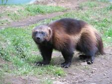 WOLVERINE GLOSSY POSTER PICTURE PHOTO wall decor u of m michigan animal cool 367