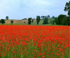 SUPERB POPPY FIELD LANDSCAPE #30 CANVAS WALL ART POSTER PHOTO PRINT