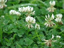 White Dutch Clover Seeds,Improve Your Garden Soil,Cover-Crop,Raw Or Inoculated!