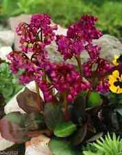 BERGENIA SEEDS-RED-A.K.A. Heart Leaf Bergenia Pig Squeak,Winter hardy to zone 3