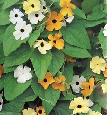 Thunbergia Seed (Black Eyed Susan Vine) Mix of orange,yellow and white flowers !