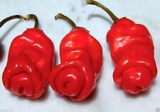 Peter Red chili also known as the Peter Pepper or Penis Pepper, Capsicum annuum.