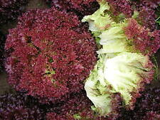 Red Curly Lettuce-LOLLO ROSSA-500, 1000 or 2000 Heirloom Organic Vegetable Seeds