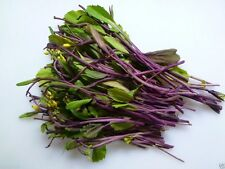 hon tsai tai Seeds - Purple Choy Sum (kosaitai) Plant Early Spring,Summer/Fall