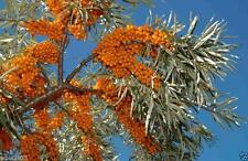 Sea Buckthorn, Seaberry - Hippophae rhamnoides - Edible Fruit - raw or cooked !