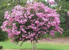 Crape Myrtle, Lagerstroemia Indica, Seeds (Mixed Colors)