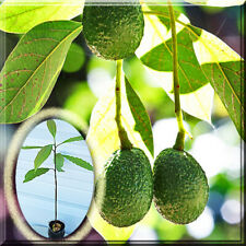 Persea Americana Hass Avocado Alligator Pear Lauraceae Tree Root