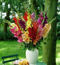 Gladiolus Mixed, ( BULBS) deep red, pink, white,yellow, lavender, green, orange