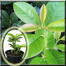 Dwarf Prunus laurocerasus Common English Laurel Shrub 1~2 Potted Quart Plant