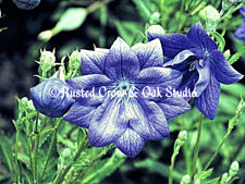 Purple Balloon Flower Green Bedroom Art Bathroom Decor Matted Picture Photo A105