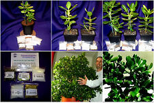 FSH252 Feng Shui Large Jade/Money Plant/Tree + Chinese Coin Kits