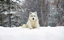BEAUTIFUL WHITE WOLF GLOSSY POSTER PICTURE BANNER snow wolves pack winter 2409