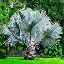 Perennial Plant Palm Seeds 20pcs Tropical Cycas Seed Garden Rare Tree Seeds