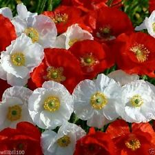 Shirley Poppy Seeds - MIXED (Papaver Rhoeas) White to pale lilac,pink and red !