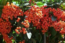 Scarlet Firethorn, Pyracantha coccinea, Hardy! Seeds
