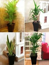 1 Large Indoor Office House Tree @ Milano Gloss Pot Palm Dracaena Snake Plant