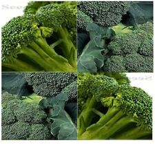 SPROUTING CALABRESE Broccoli seeds - FRESH GREEN bear until frost in colder - 60