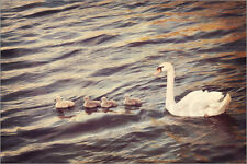 "Poster / Leinwandbild ""Family of Swans"" - Just a click"