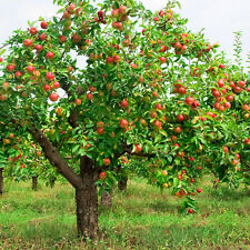 Fuji Apple, Malus pumila Fuji, Tree Seeds (Fast, Edible, Hardy)