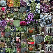 50 Succulent Cuttings 25 Types + 50 Pots Drought Hardy Flowers Succulents Plant