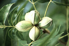 Pecan, Carya illinoinensis, Tree Seeds (Hardy, Edible Nuts)
