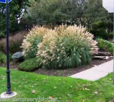 Adagio Dwarf Maiden Ornamental Grass plants ( miscanthus ) ( 1 gallon )