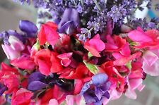 Fragrant Sweet Pea - Royal Family Mix, (Lathyrus odoratus), Vine Seeds (Showy)