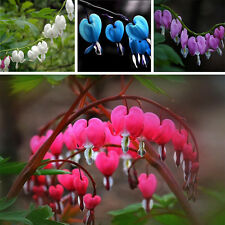 10pc New Perennial Herbs Dicentra Garden Home Plant Bleeding Heart Flower Seeds