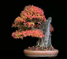 Trident Maple, Acer buergerianum, Tree Seeds (Fall Color, Hardy, Bonsai)