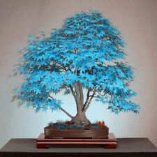 20 Psc Blue Maple Tree Bonsai Tree Seeds Rare Yellow Red Japanese Maple Seed Bal