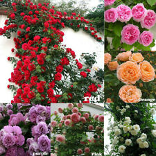 100Pcs Climbing Rose Rosa Multiflora Perennial Fragrant Flower Seeds House Decor