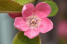 Chinese Quince, Chaenomeles sinensis, Tree Seeds (Edible, Fall Color, Fragrant)
