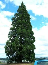 Giant Sequoia, Sequoiadendron giganteum, Tree Seeds