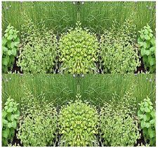WINTER THYME WHITE YARROW GARDEN HERBS SEEDS ~ 31 KINDS