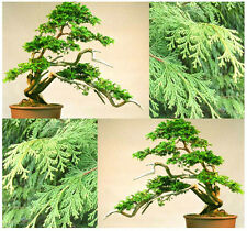 BULK Hinoki Cypress Seeds ~ Japanese White Cypress Chamaecyparis Obtusa  ~ FRESH