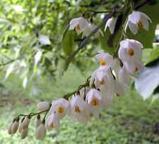 Fragrant Snowbell, Styrax obassia, Tree Seeds (Showy, Hardy)