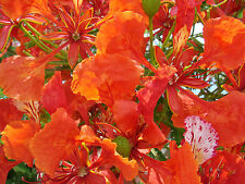 Royal Poinciana, Delonix regia, Tree Seeds (Flame Tree, Flamboyant Tree) (Fast)