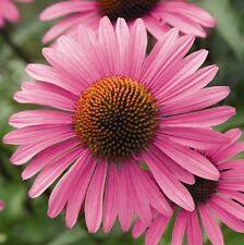 Purple Coneflower, Echinacea purpurea, Perennial Seeds (Fast, Showy)