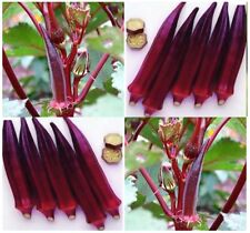 RED BURGUNDY Okra seeds ~ TURNS GREEN WHEN COOKED - 5' tall ornamental - 60 Days